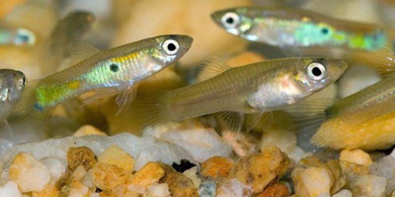 10 Safe Betta Fish Tank Mates Companions Bettafish Org In 2020 Betta Fish Tank Mates Betta Fish Tank Betta