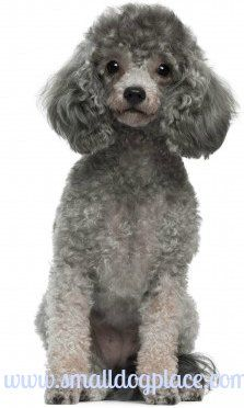 Toy Poodle Is This The Right Breed For You Puppies Dog Breeds