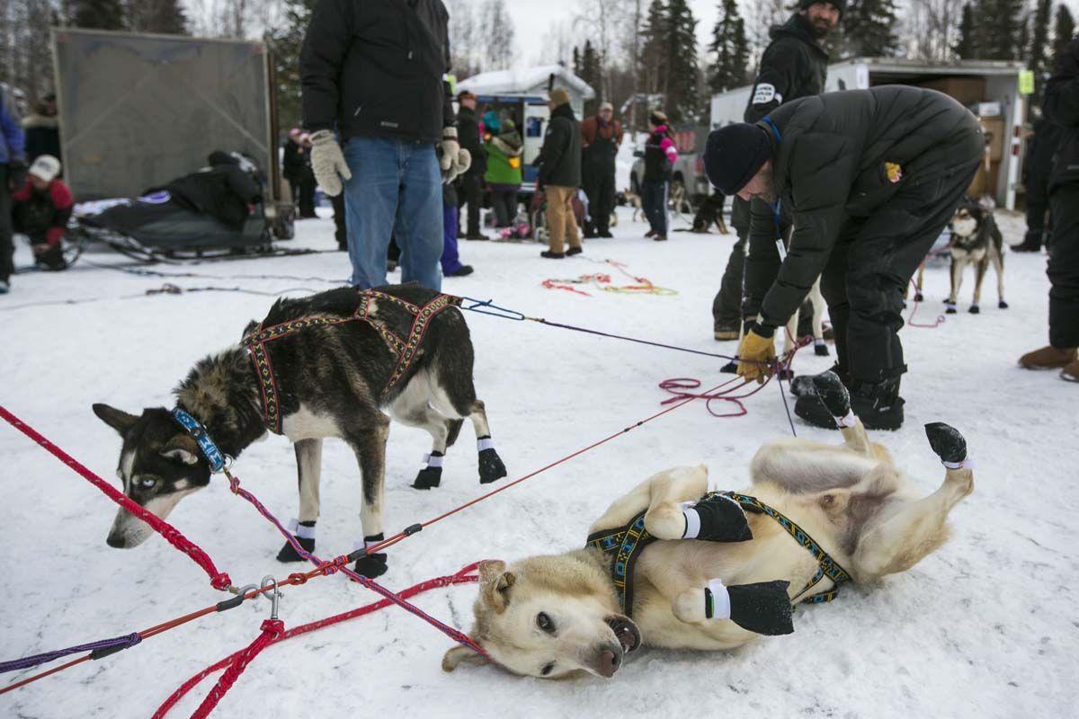 Ssn Iditarod Sled Dog Race Kicks Off This Weekend Racing Dogs