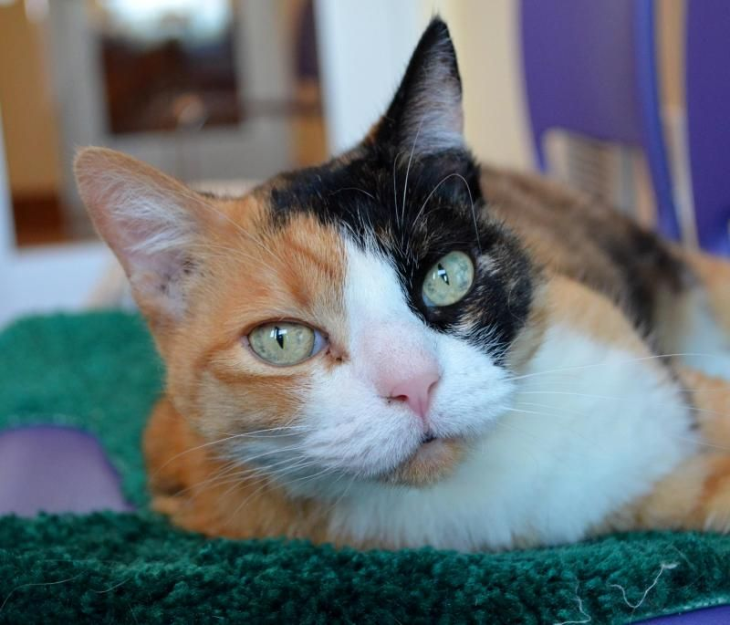 Adopt Ginger on American bobtail cat, Pet adoption