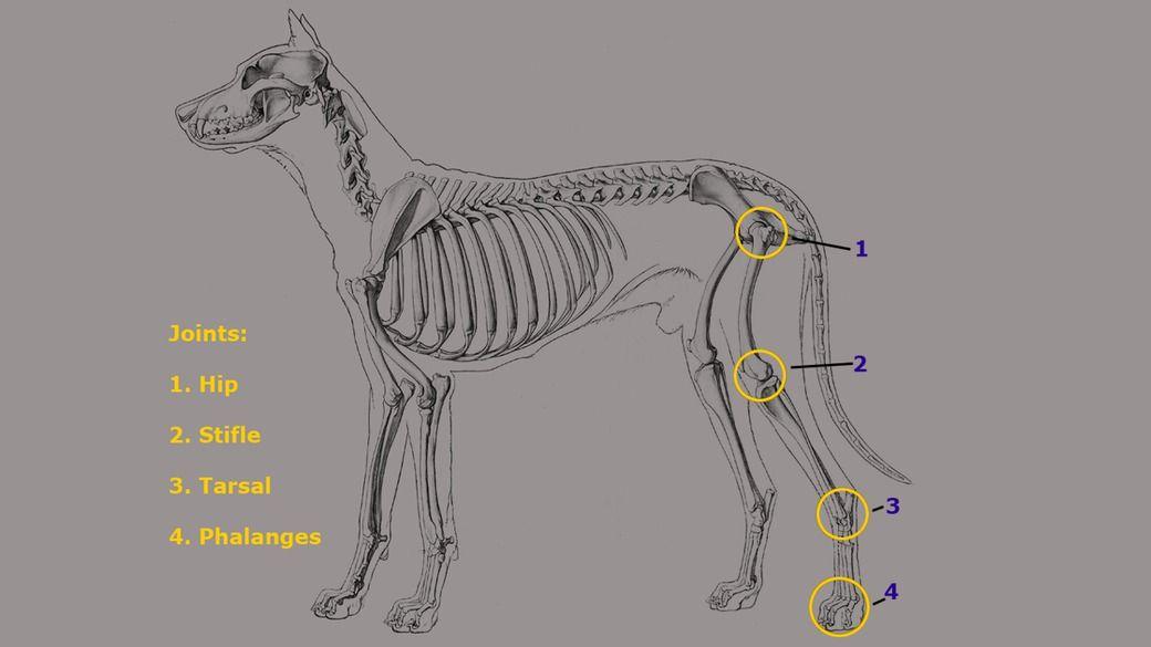 2019的Creating a Pelvic Limb Rig for a Dog in Maya (part 1