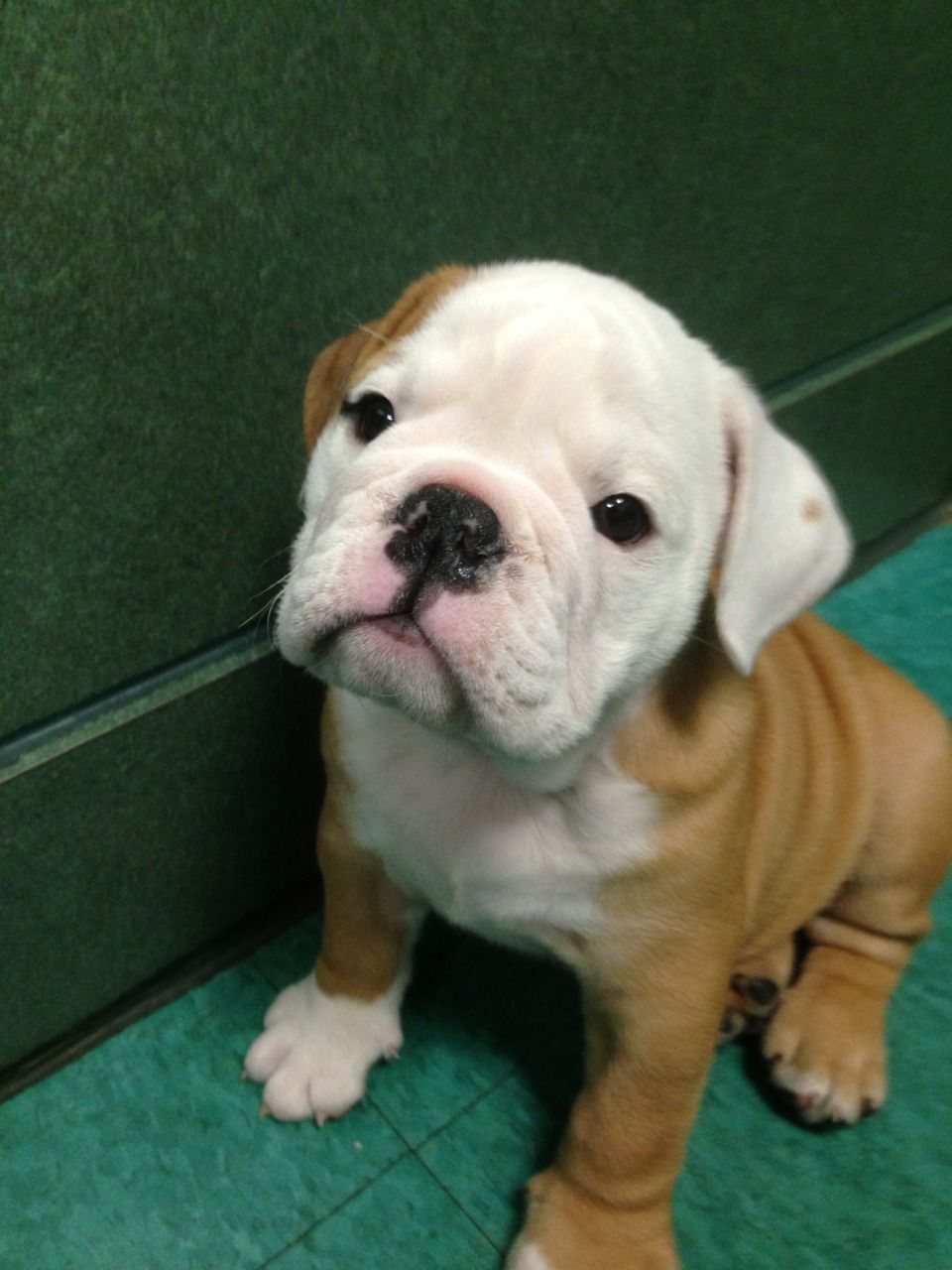 Clover The Bulldog Puppy