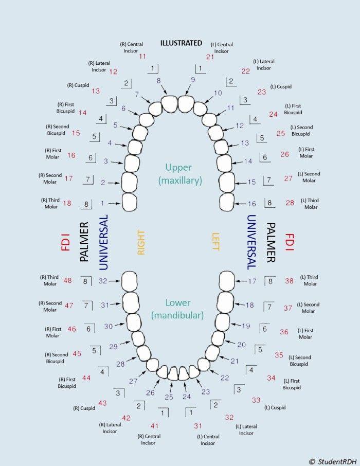 StudentRDH | Pinterest | Dental, Dental hygiene and Dental anatomy