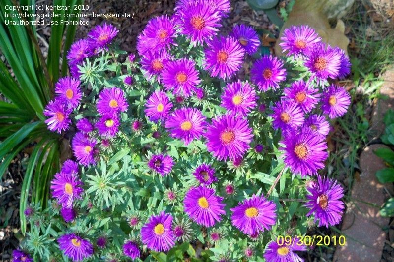 Full Size Picture Of New England Aster Hardy Aster Michaelmas Daisy Purple Dome Symphyotrichum Novae Angliae Michaelmas Daisy Plants Flowers