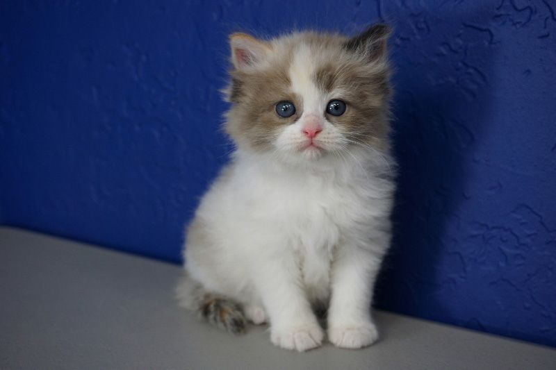 c91a621e58 Ragdoll Kittens for Sale Near Me