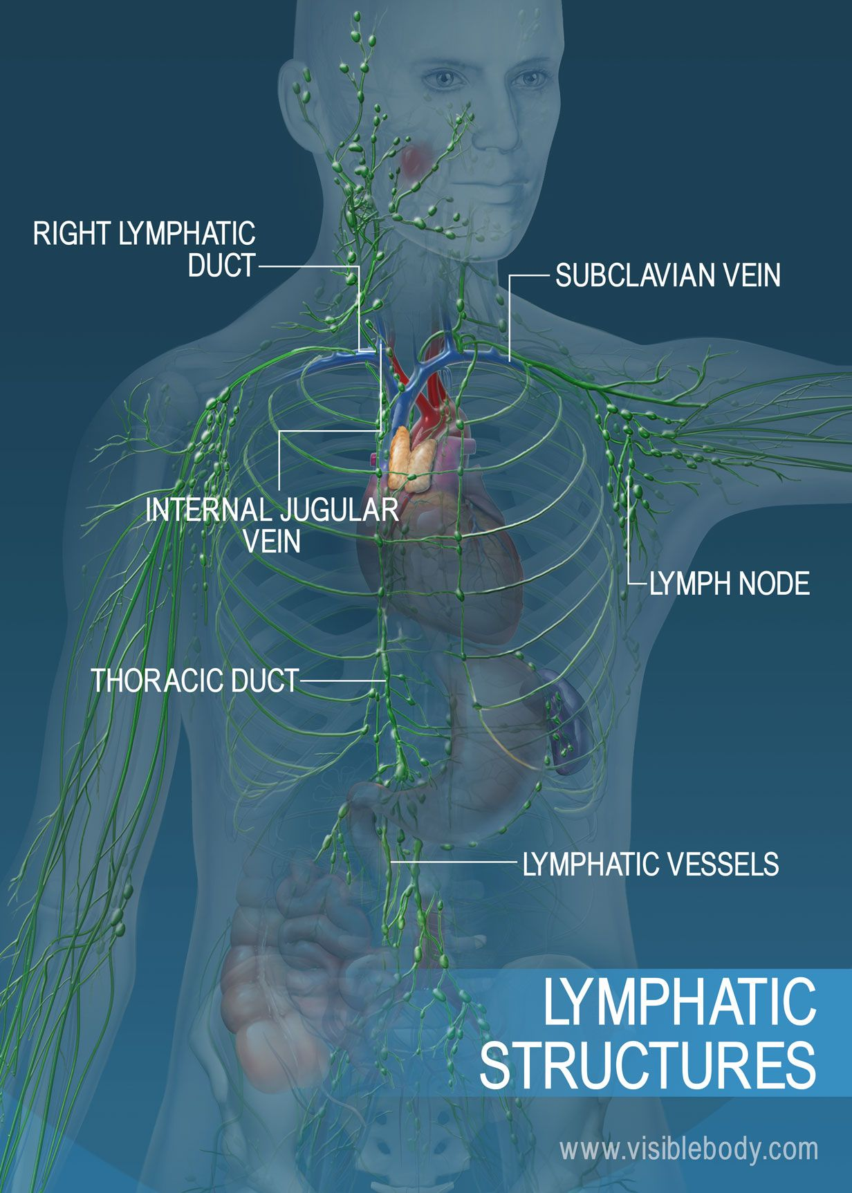 The Lymphatic Vessel Network Across The Torso And Arms Major