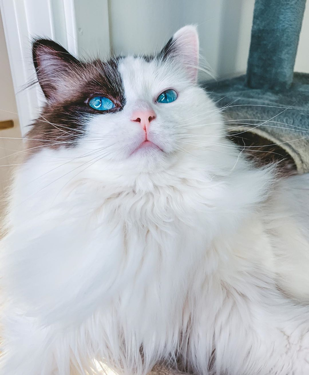 468 Likes 23 Comments Sigge Siggetheragdoll On Instagram Wednesday It S Almost Sorta Kinda Does To Just About Near In 2020 Cats Pets Instagram