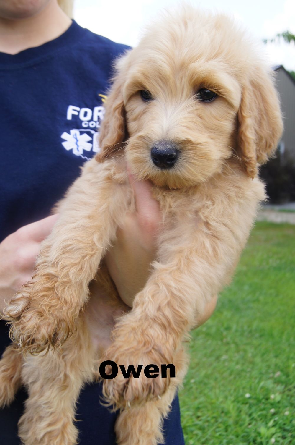 Owen Is An Apricot F1b Male Goldendoodle Puppies Goldendoodle