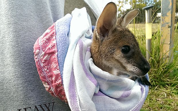 Image result for Volunteers Are Sewing Pouches kangaroo australia