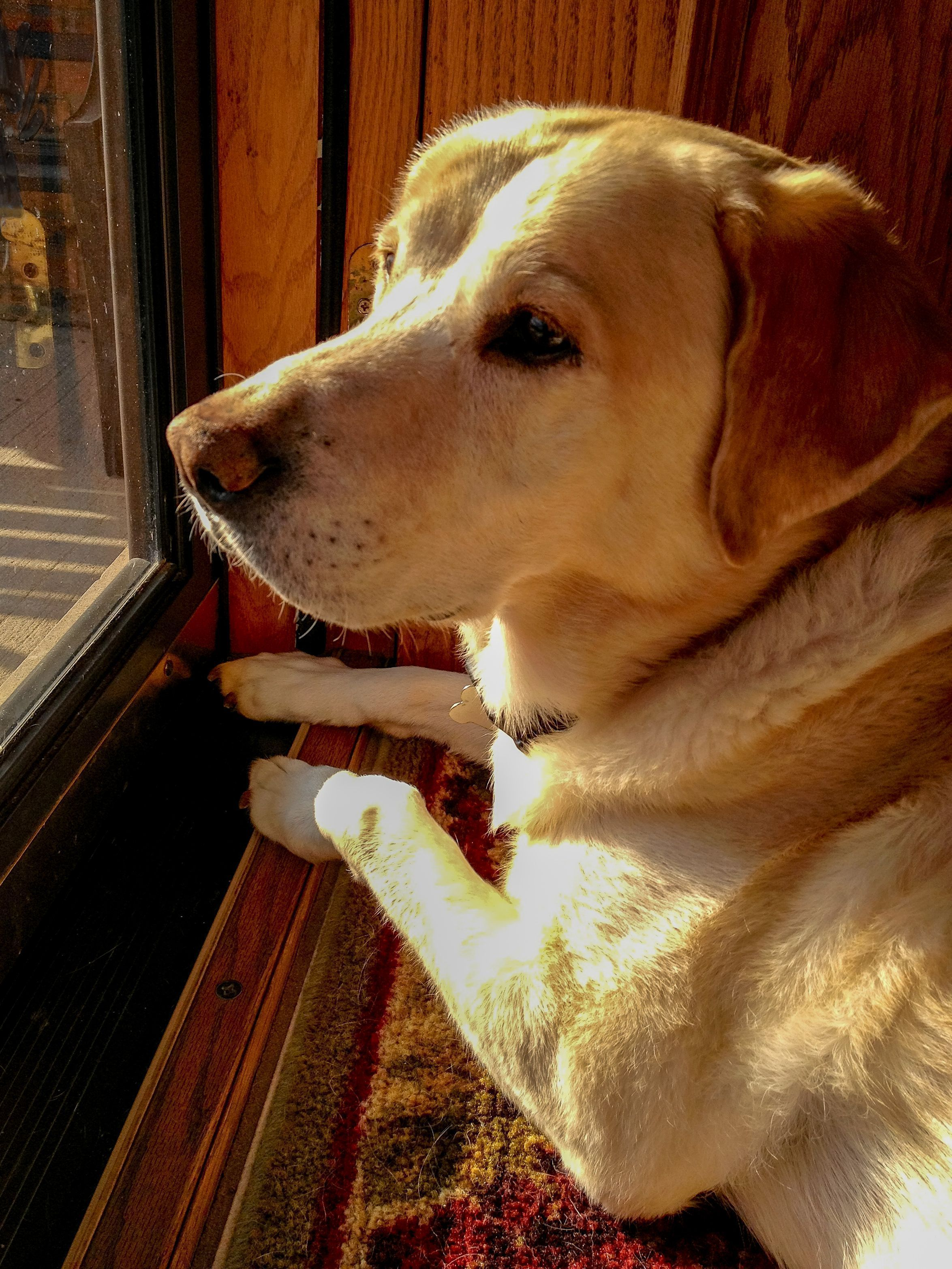 Watchdog Every Year Around Her Birthday I Really Miss Maggie Like Craig Lincoln Statefarm To Start Each D Labrador Retriever Labrador Labrador Quotes