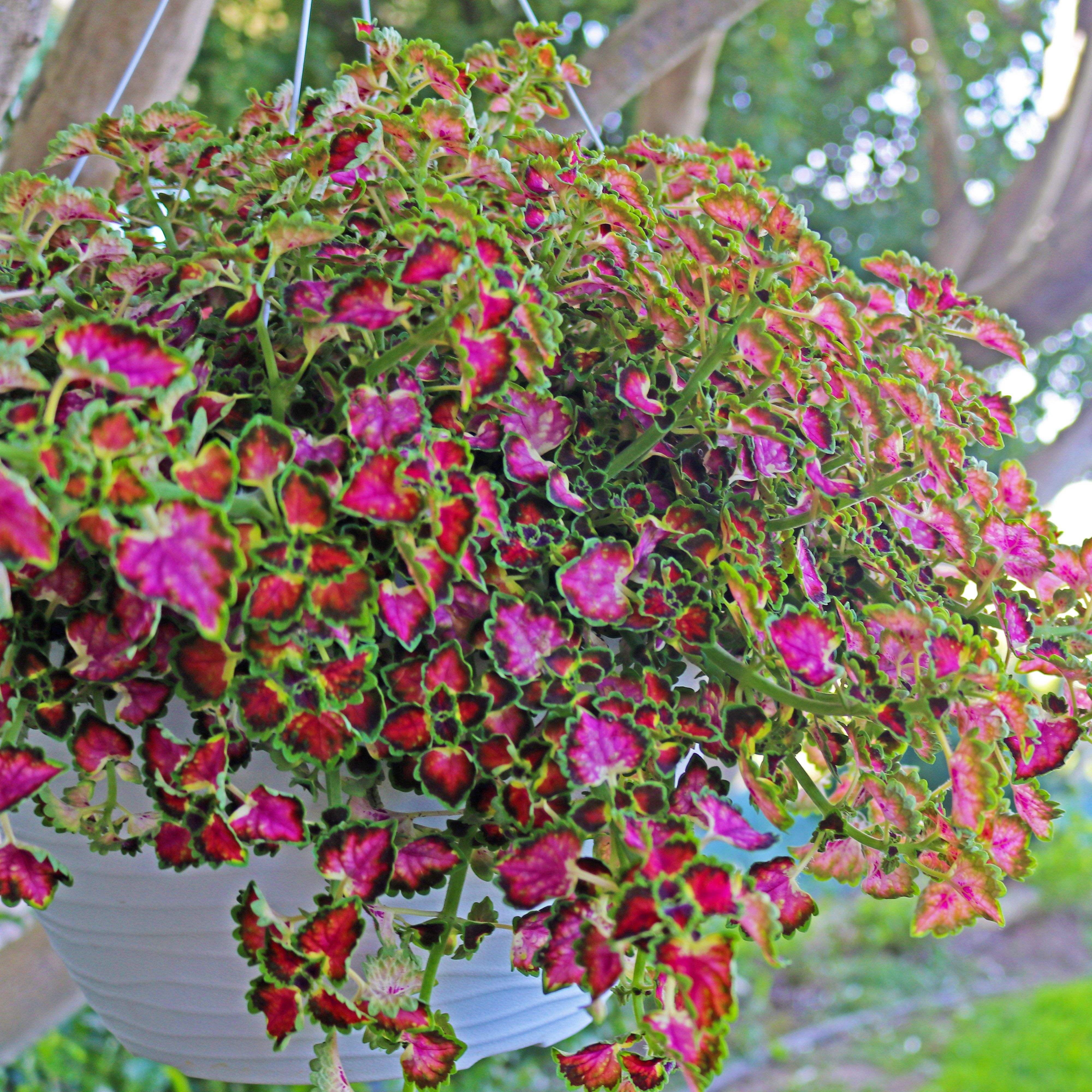 Coleus Great Falls Angel A Great Item To Brighten Shade Gardens
