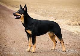 Image Result For Black And Tan Kelpie Puppies Hundar