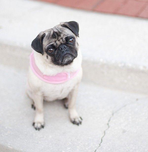 Pawsitively Amazing Pia Pia Dogs Pugs Pug Mug