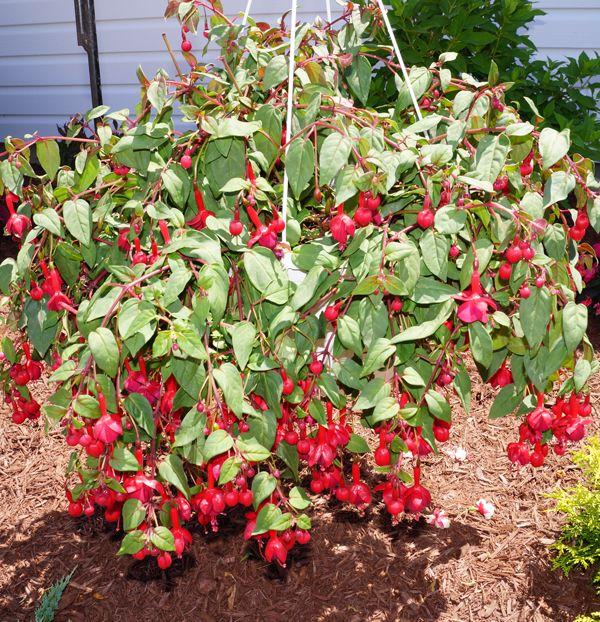 Marinka Fuchsia Plant Plants Fuchsia Plant Plant Sale