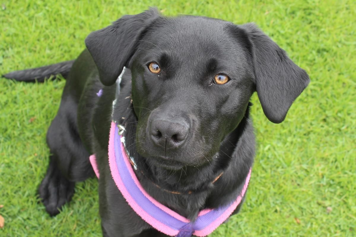 Adopt A Dog Pippa Labrador Dogs Trust Dog Adoption Dogs Dogs Trust