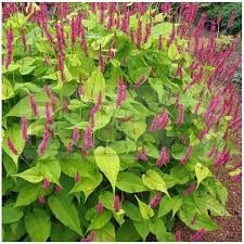 Image result for persicaria golden arrow