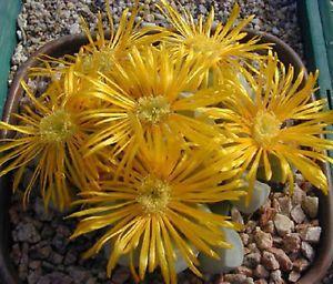 Lapidaria-margaretae-rare-mesembs-living-stone-cacti-exotic-cactus-seed-30-SEEDS