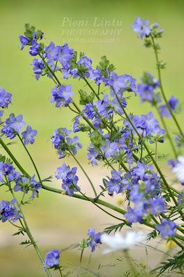 Pieni Lintu: Summer and blueberries