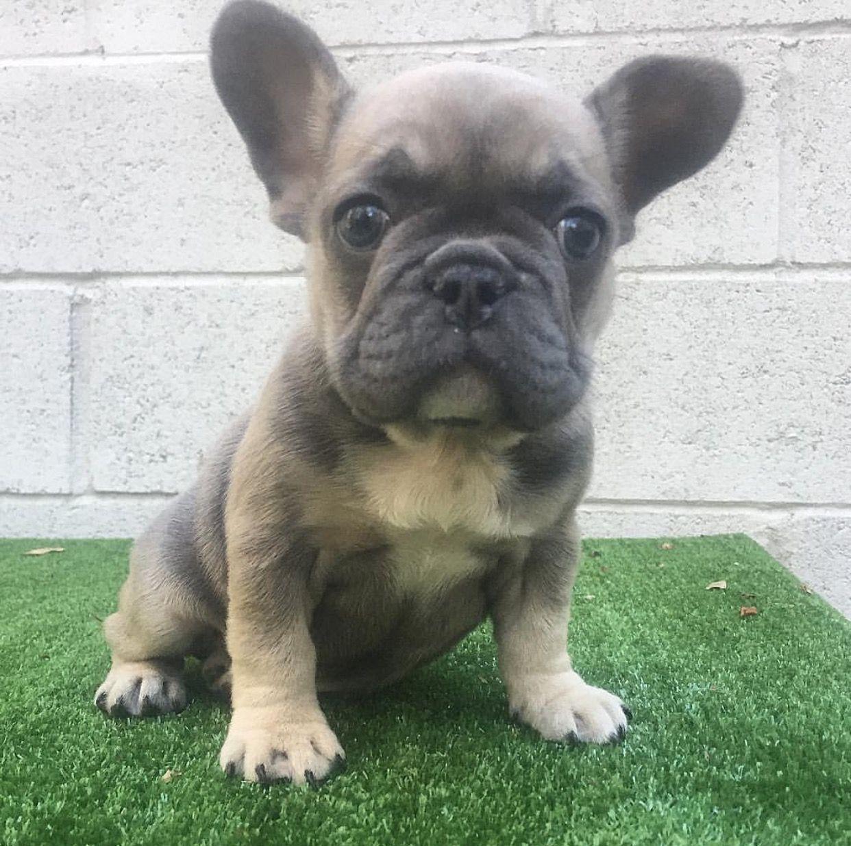BLUE FAWN SABLE TRI French bulldog puppies, Bulldog