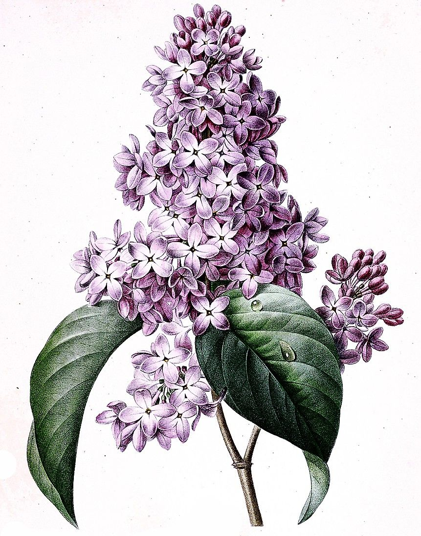 Lilacs Pierre Joseph Redoute Botanical Wall Art Flower Art Floral Art