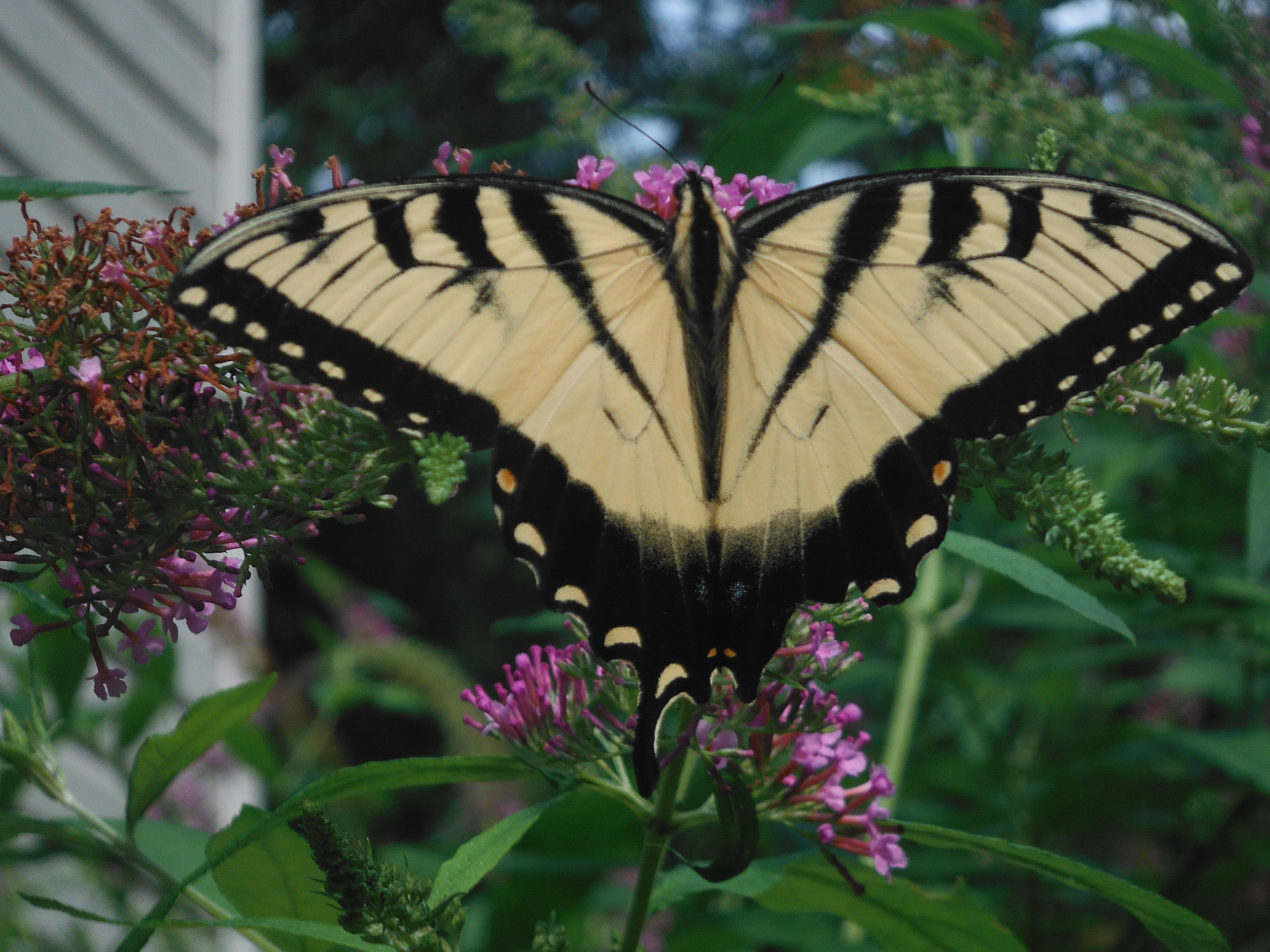 Even with a broken wing this is beautiful.  Planting a butterfly bush is always a great idea.