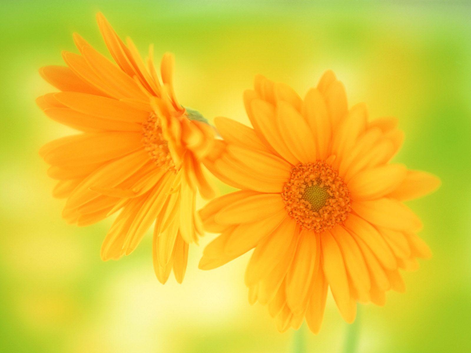 African Daisy Flowers Pinterest Africans