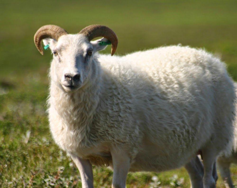 تفسير رؤية ذبح خروف في المنام Check More At Https 3jeba Com D8 Aa D9 81 D8 B3 D9 8a D8 B1 D8 B1 D8 A4 D9 8a D8 A9 D8 B0 D8 Sheep Breeds Sheep Funny Sheep