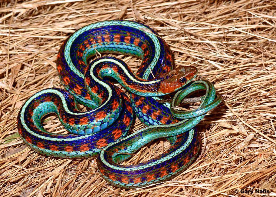 California Red Sided Garter Snake With Images Endangered Snakes