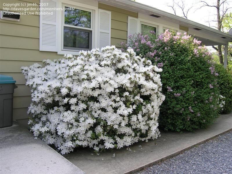 Plantfiles Pictures Azalea Delaware Valley White Rhododendron By Jim46 White Azalea Azaleas Low Maintenance Shrubs