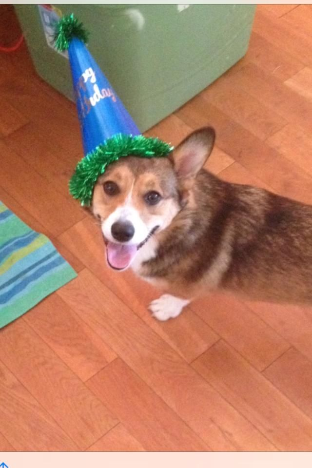 Daisy Turns One And Parties In Her Hat Corgi With Images