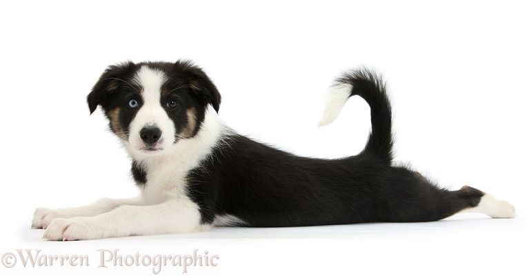 Odd Eyed Tricolour Border Collie Pup Lying Stretched Out Border