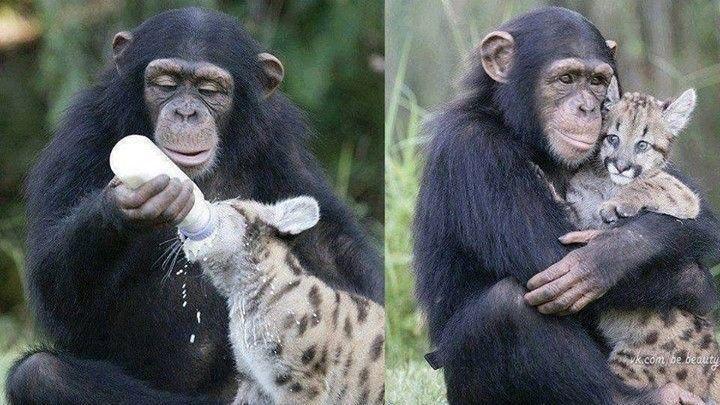 chimpance love