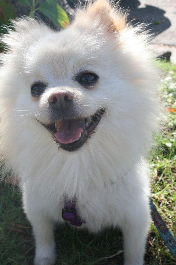 Bugsy Pomeranian Adult Male Small Remember Me Rescue Los Angeles Ca Pets Happy Dogs Pomeranian
