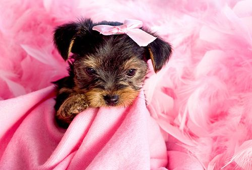 Amazing Puppies Bow Adorable Dog - cb415d40396f6db050b9c87fa2d580d4  Photograph_935142  .jpg