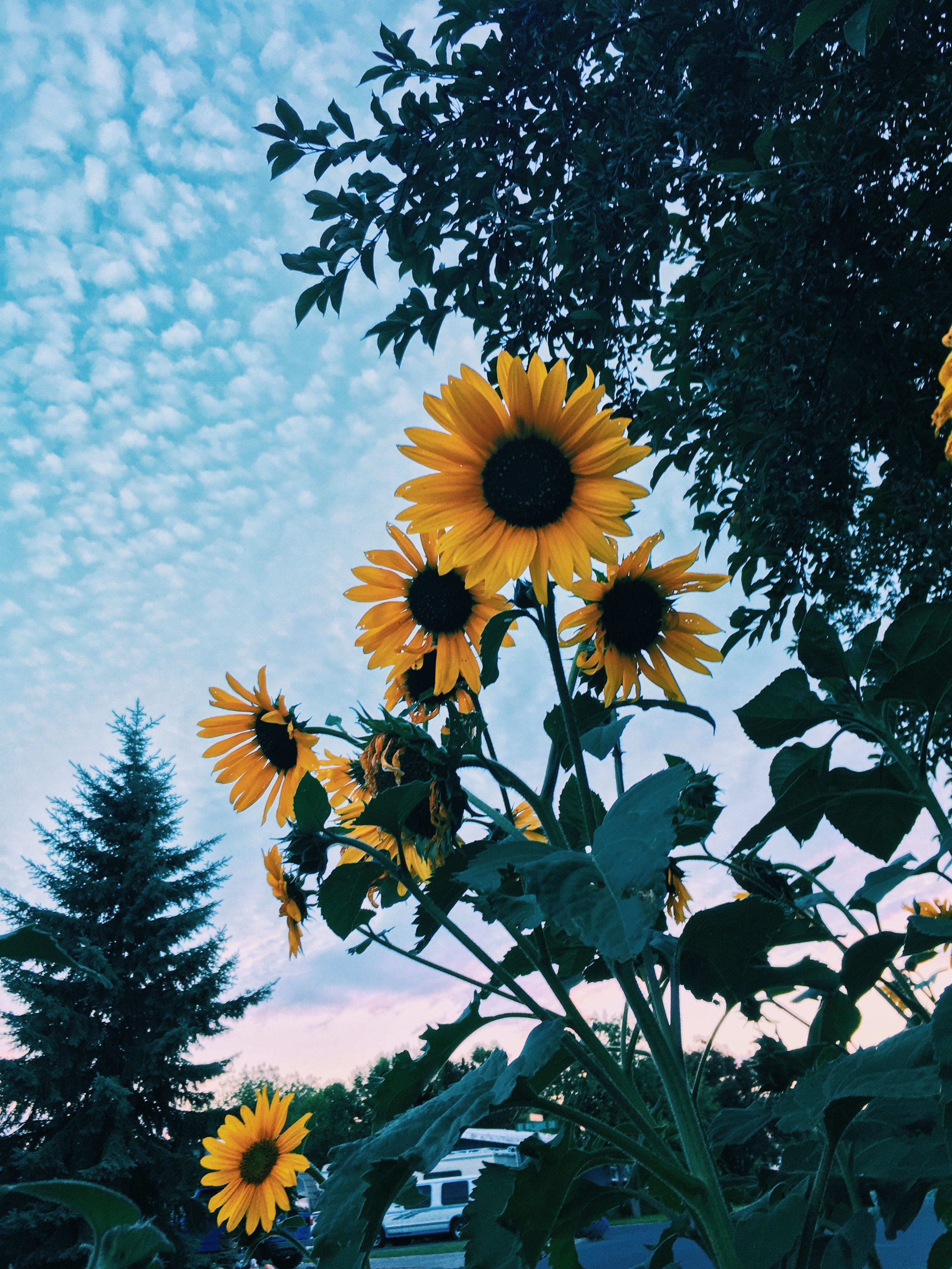 P I N T E R E S T Cora Rose 3 In 2020 Sunflower Wallpaper Sunflower Iphone Wallpaper Flower Phone Wallpaper