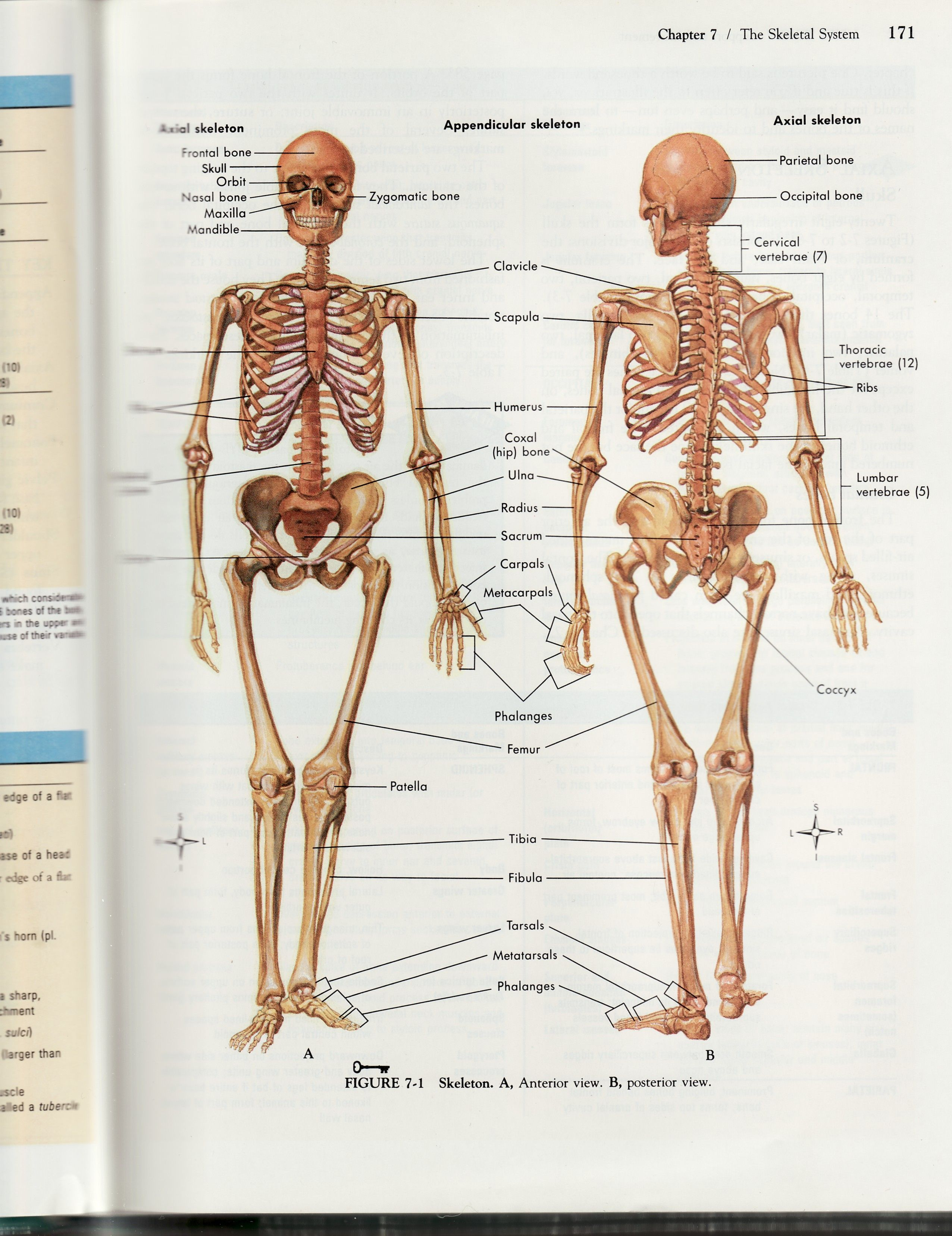 Detailed human skeleton diagramg 25523312 clase escultura detailed human skeleton diagramg 25523312 fandeluxe Image collections