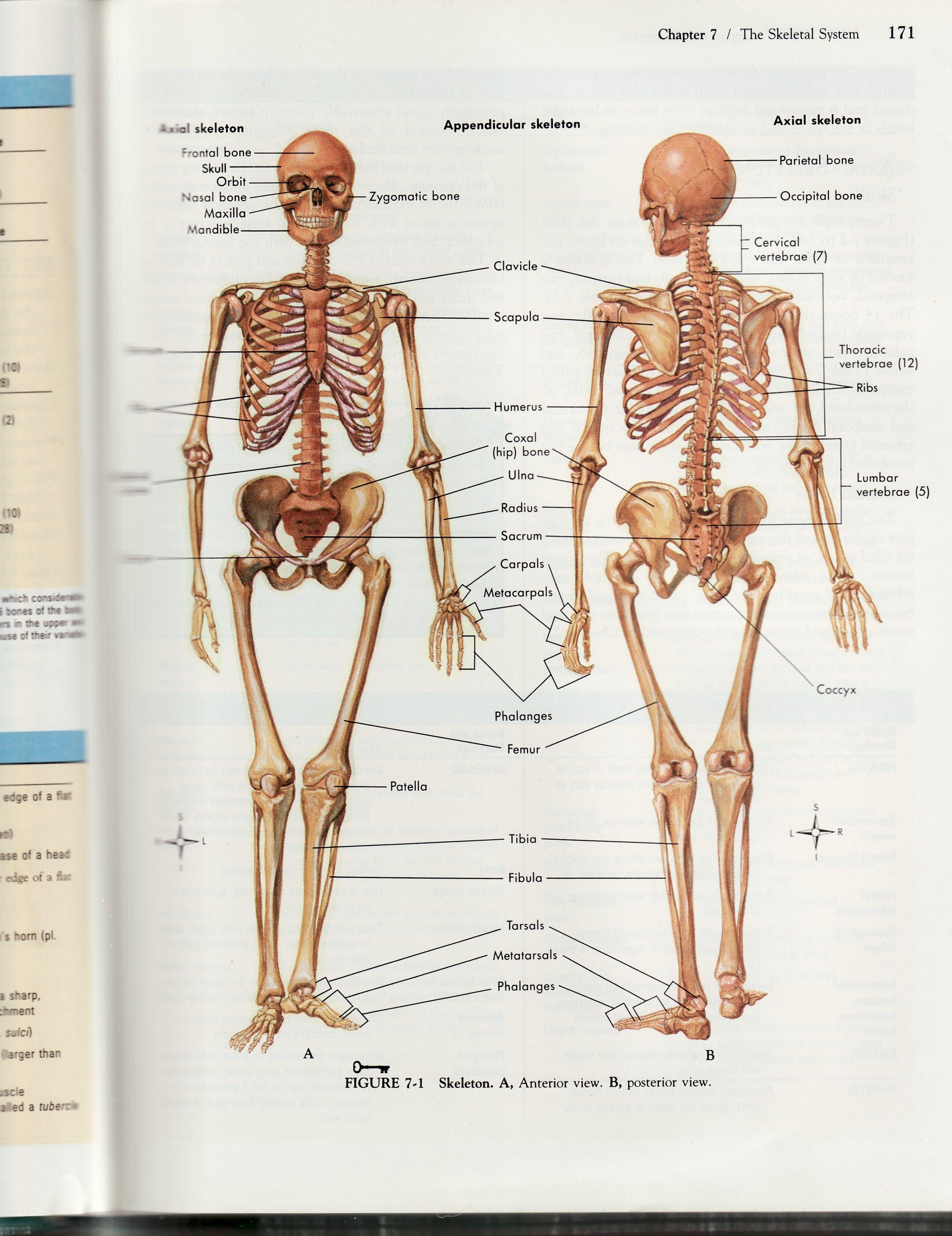 Detailed Human Skeleton Diagram