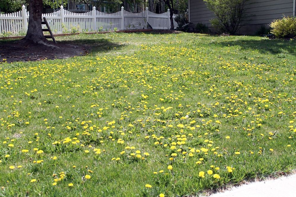 How To Get Rid Of Clover Patches In Lawn