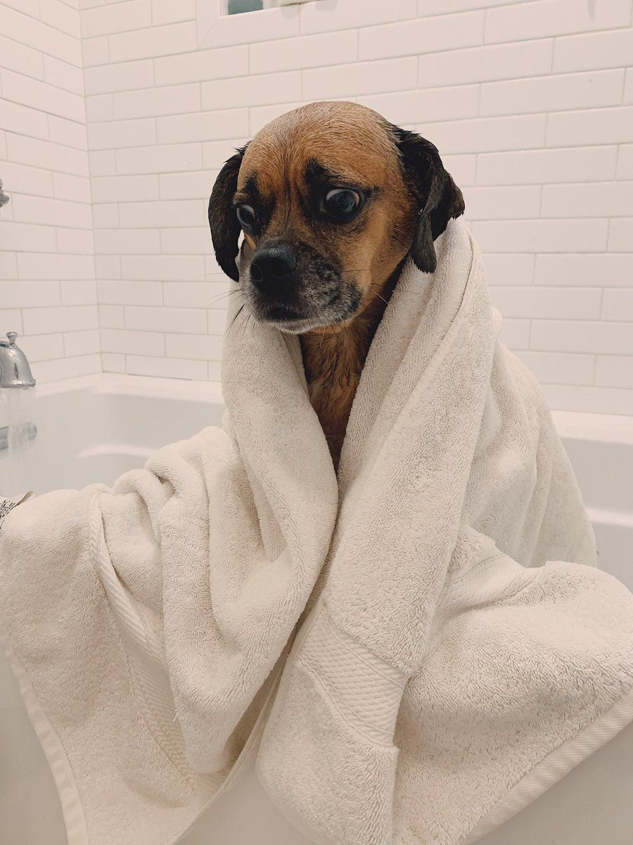 PsBattle A dog wrapped in a white towel fresh out of a