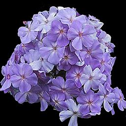 Phlox Paniculata Blue Boy The Closest To A True Blue