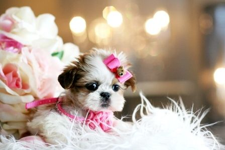 Teacup Shih Tzu Puppies Shih Tzu Puppy Shih Tzu Puppies And Kitties