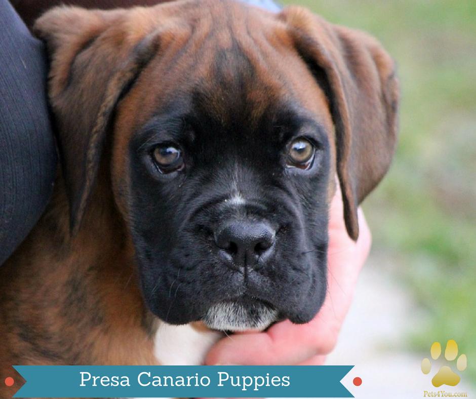 Akc English Bulldogs Pups For Sale At Jacksonville North Carolina Vip Puppies Bulldog Puppies Dog Daycare Near Me Puppies