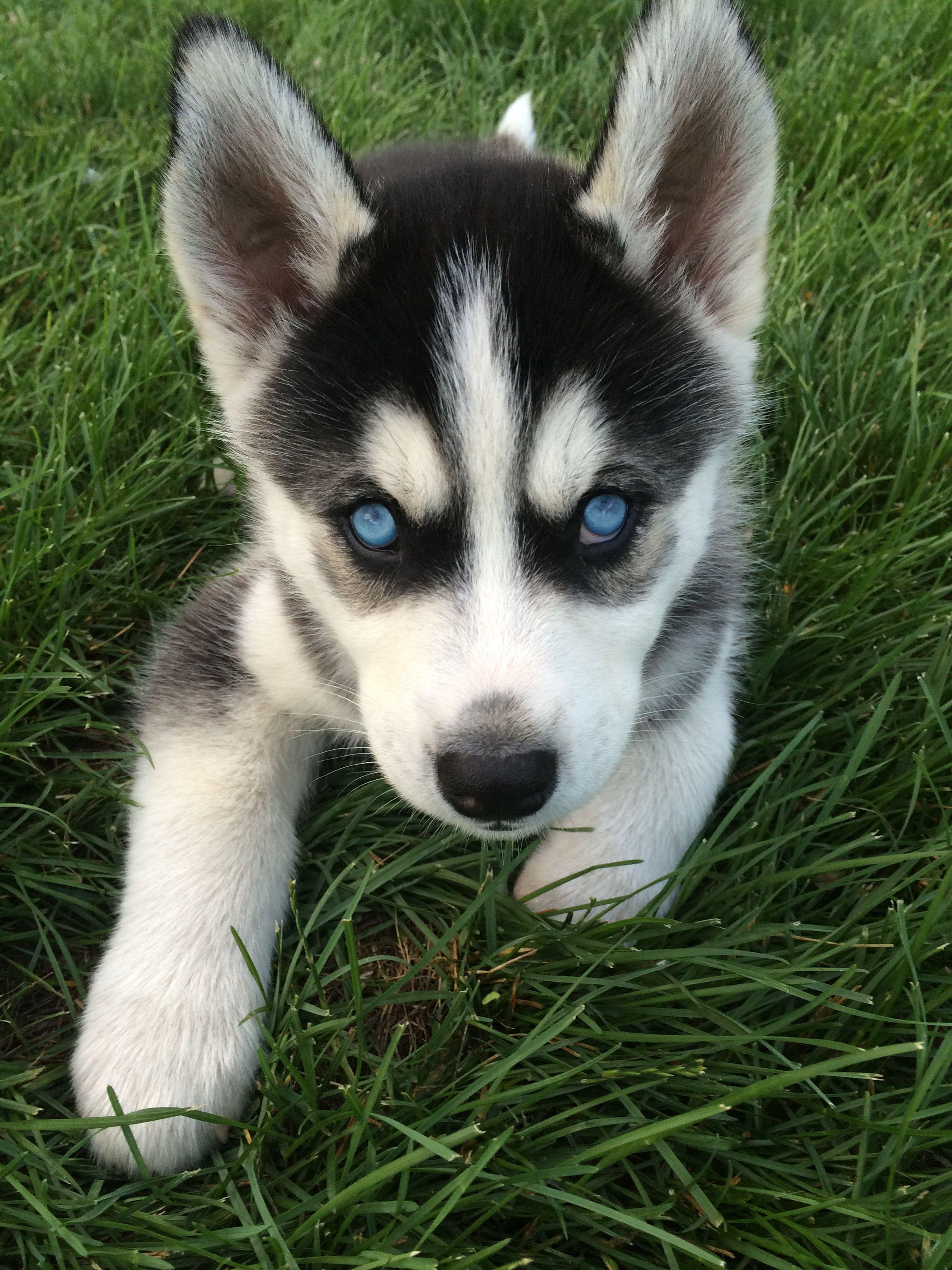 My Baby Boy Diesel Siberianhusky Husky Puppy