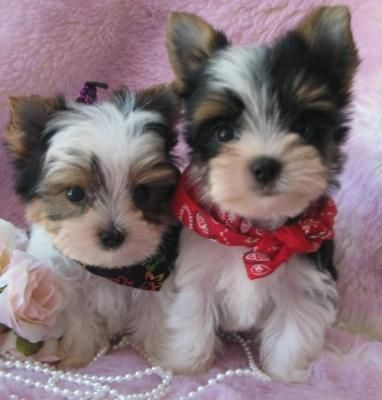 White Yorkie Puppies Free Shipping Now Teacup Yorkie Free