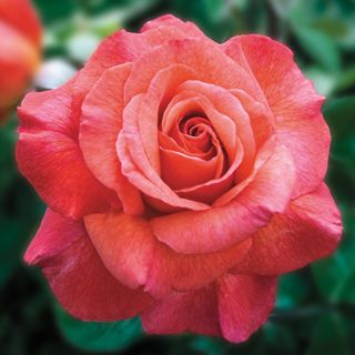 Sedona hybrid tea - These sculpted petals capture a dozen rich colors at once.