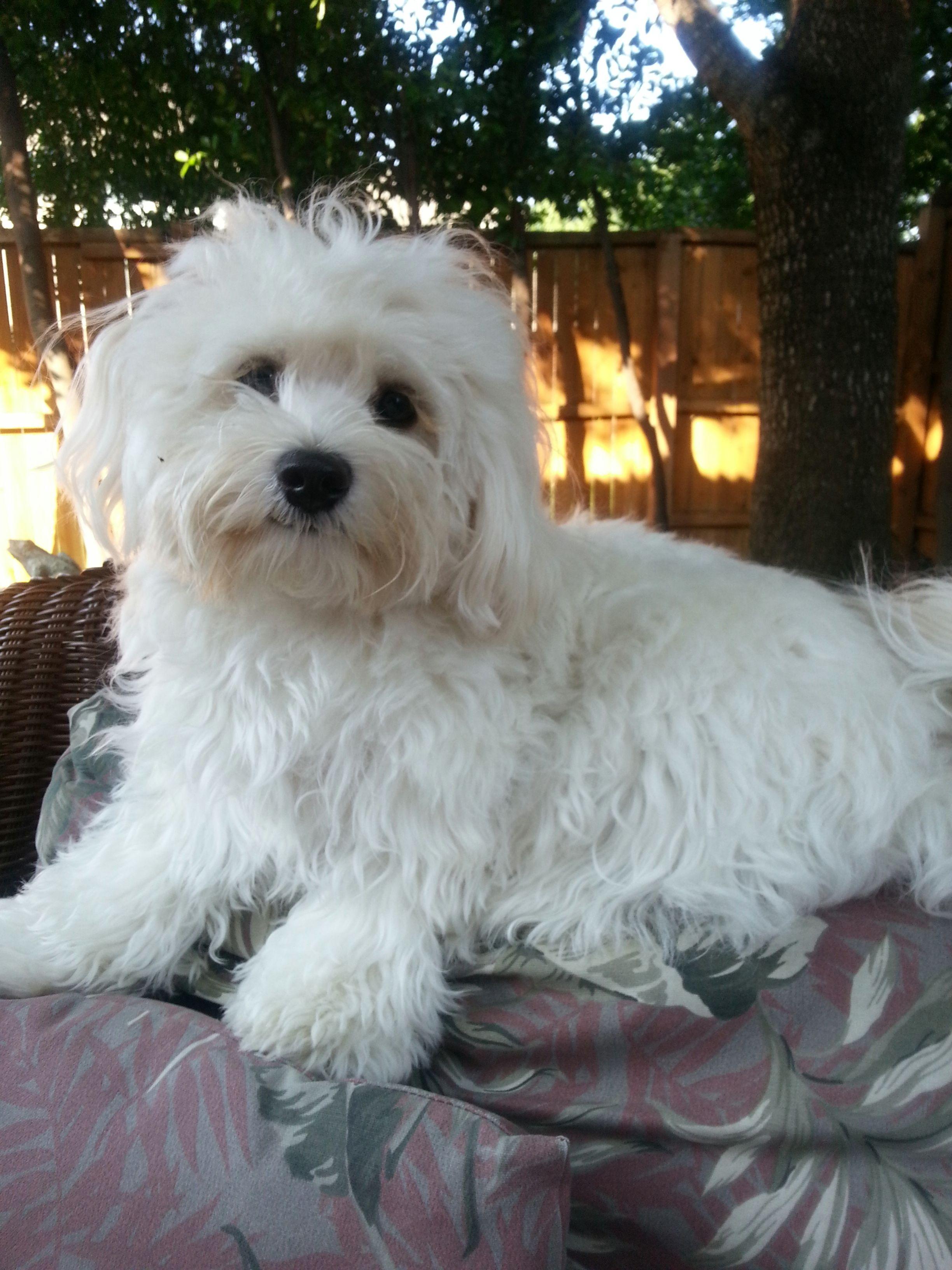 Pin Von Marjeta Auf Cotoncek Jolly Malteser Hund Susse Tiere