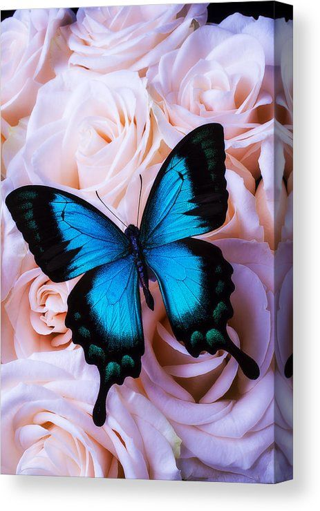 Soft Blue Butterfly Canvas Print / Canvas Art by G