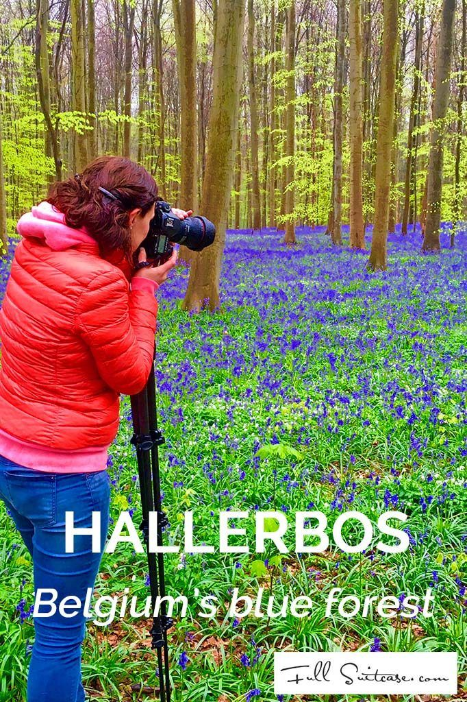 Hallerbos, Belgium's Blue Forest, is world famous for its purple carpet of bluebells which bloom around mid-April - beginning of May. We visited Hallerbos with kids and it's even better than we had expected! Find out more...