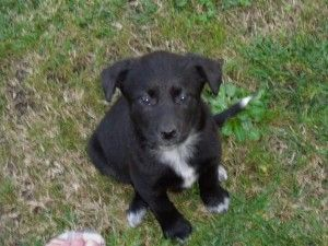 Black Lab Blue Heeler Mix Puppies For Sale Lab Mix Puppies Cute