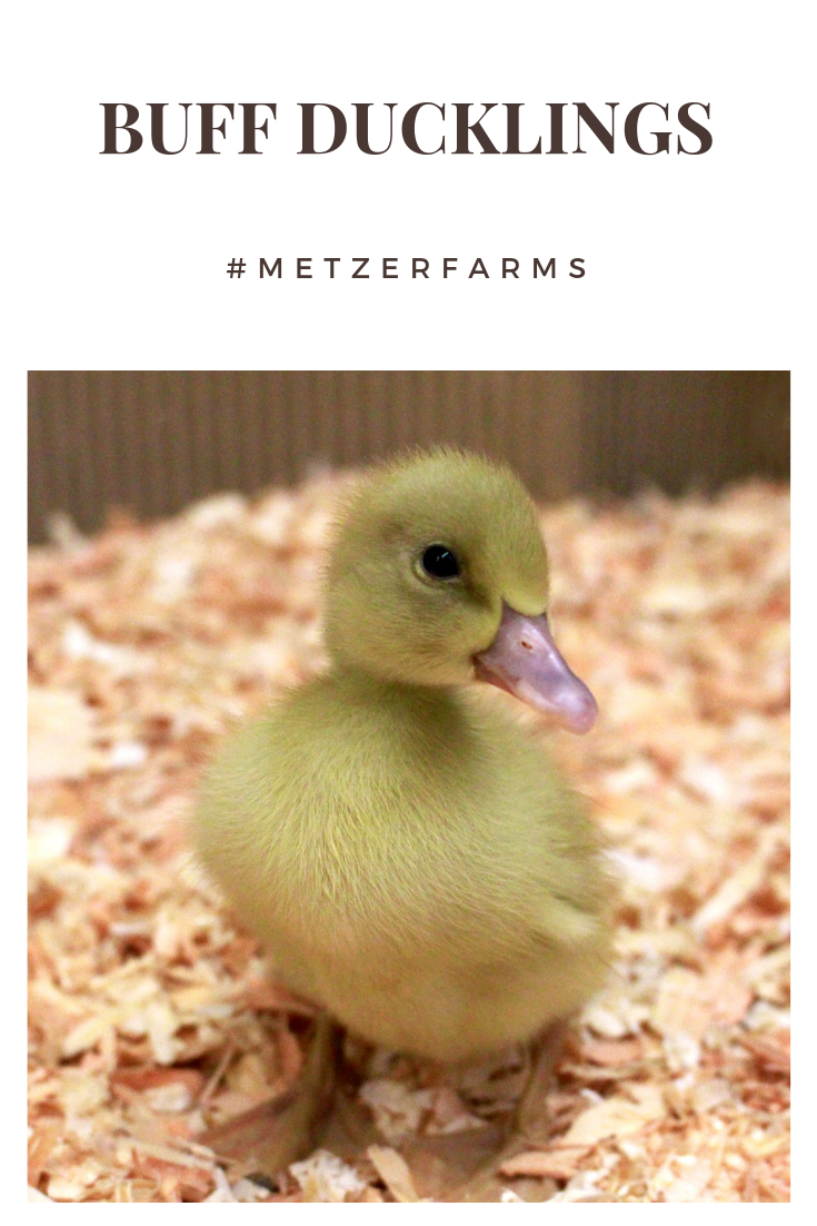 Our Buff or Buff Orpington Ducklings are a fan favorite for